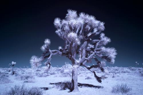 Johsua Tree IR 1